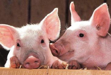【臺灣】臺灣1月開放美豬進口 爲簽署雙邊貿易鋪路